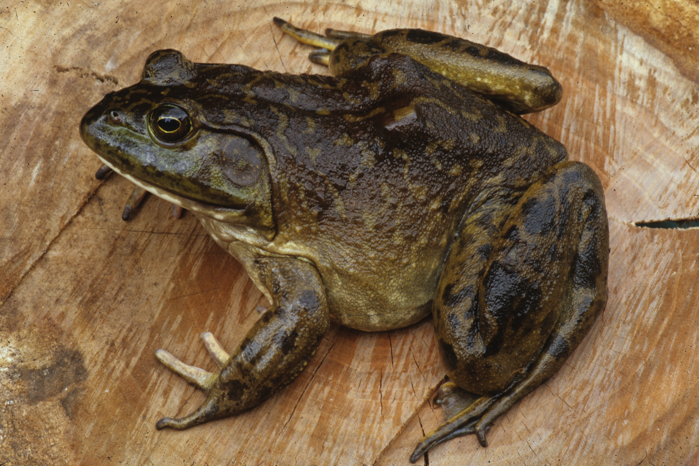 Link to OK Amphibian Disease Testing