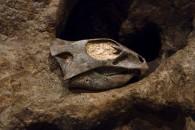 Aquilops Skull