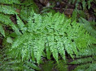 Link to Pteridophytes (ferns)