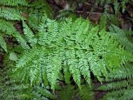 Link to Pteridophytes (ferns)