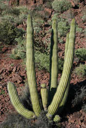 Land Plant: Stenocereus thurberi (Organ Pipe Cactus)