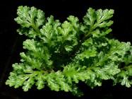 Link to Lycophytes