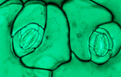 Thin section of a flowering plant stomata