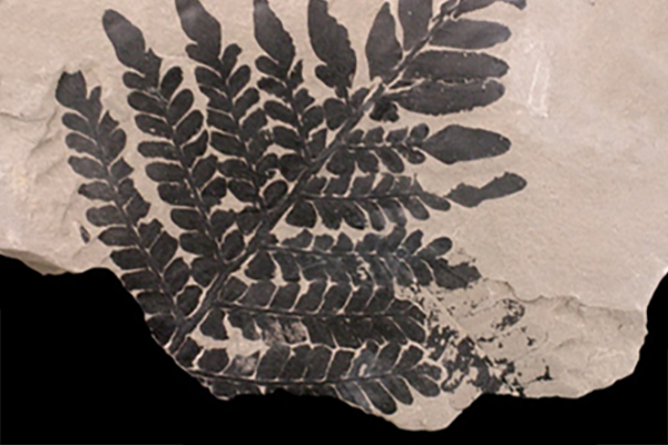 Link to Fossils by plant group