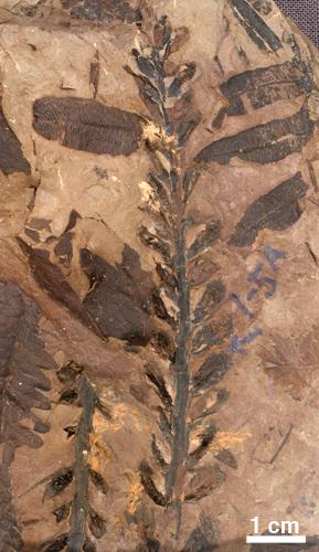 Cordaitanthus