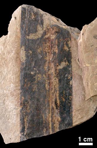Fossil Cordaites