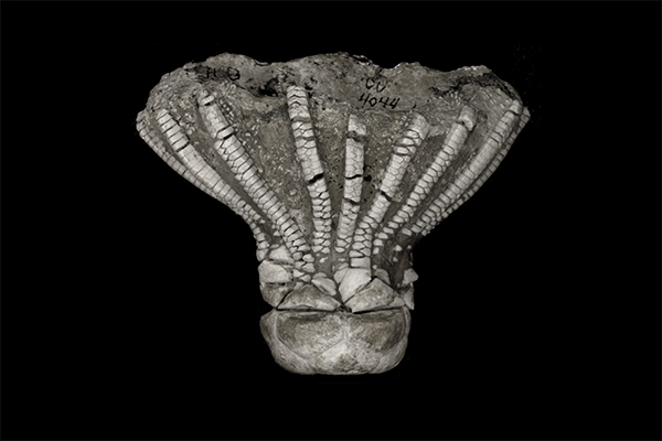 Link to Crinoids