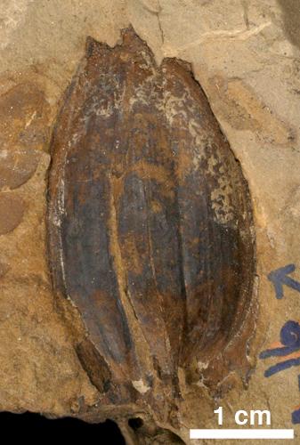 Trigonocarpus sp. (Medulosan seed)