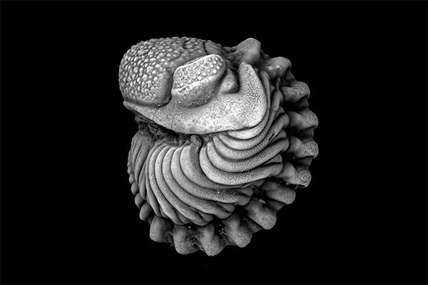 Link to Trilobites