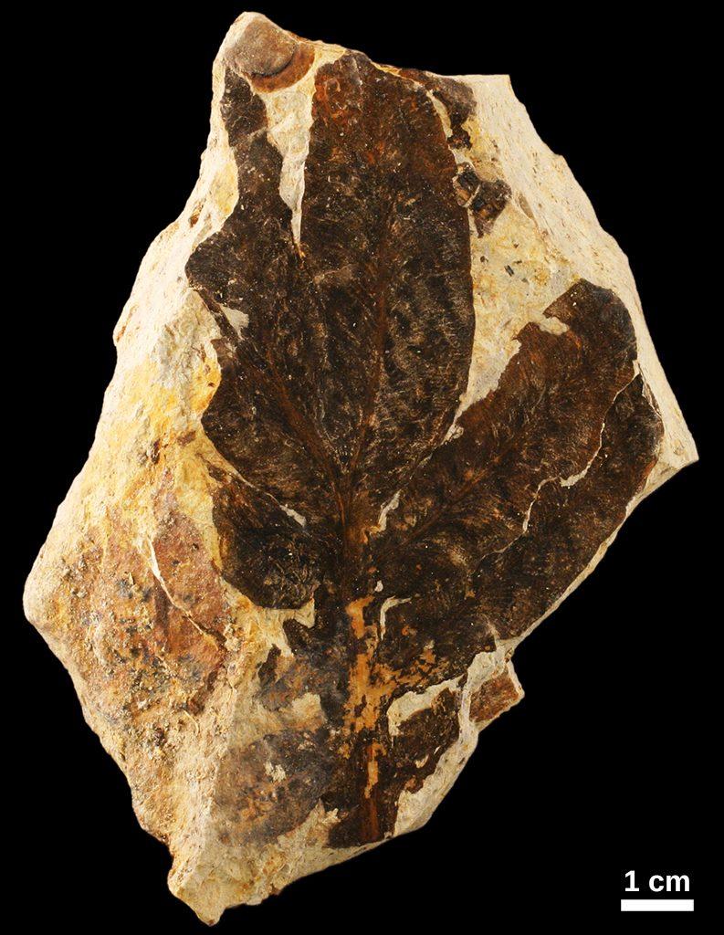 Callipterid fossil