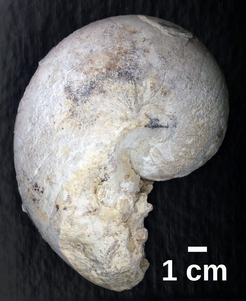 Nautilus fossil