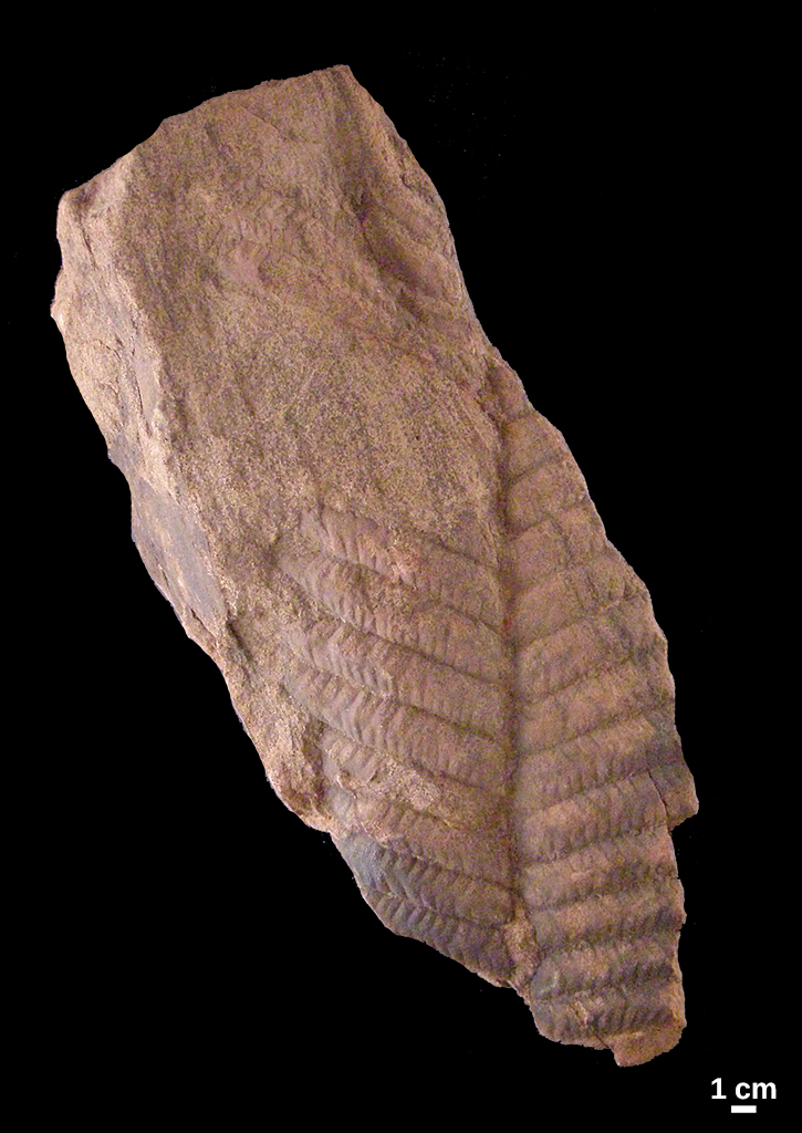 Gigantopterid fossil