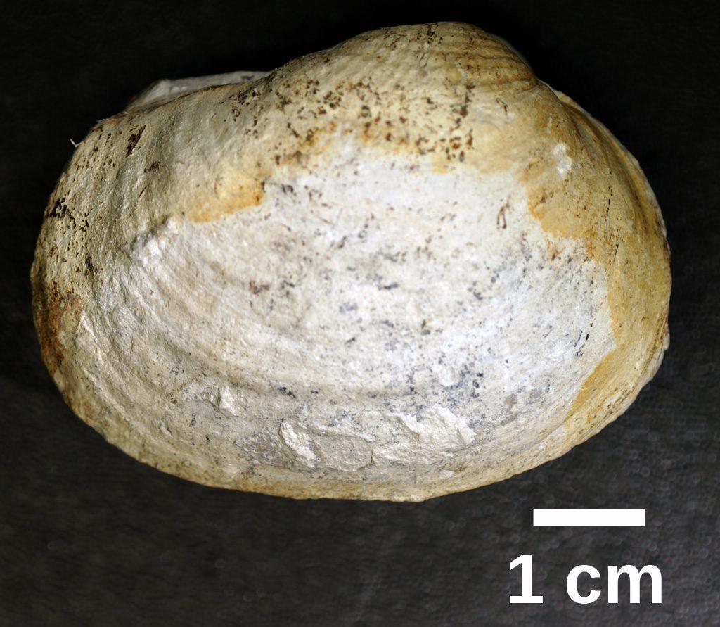 Bivalve fossil