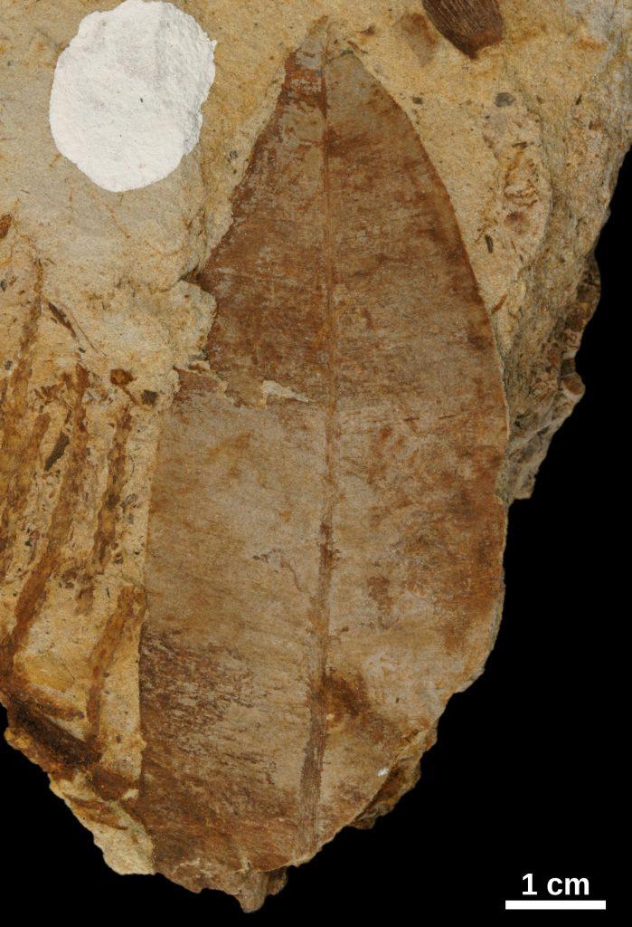 Taeniopteris fossil
