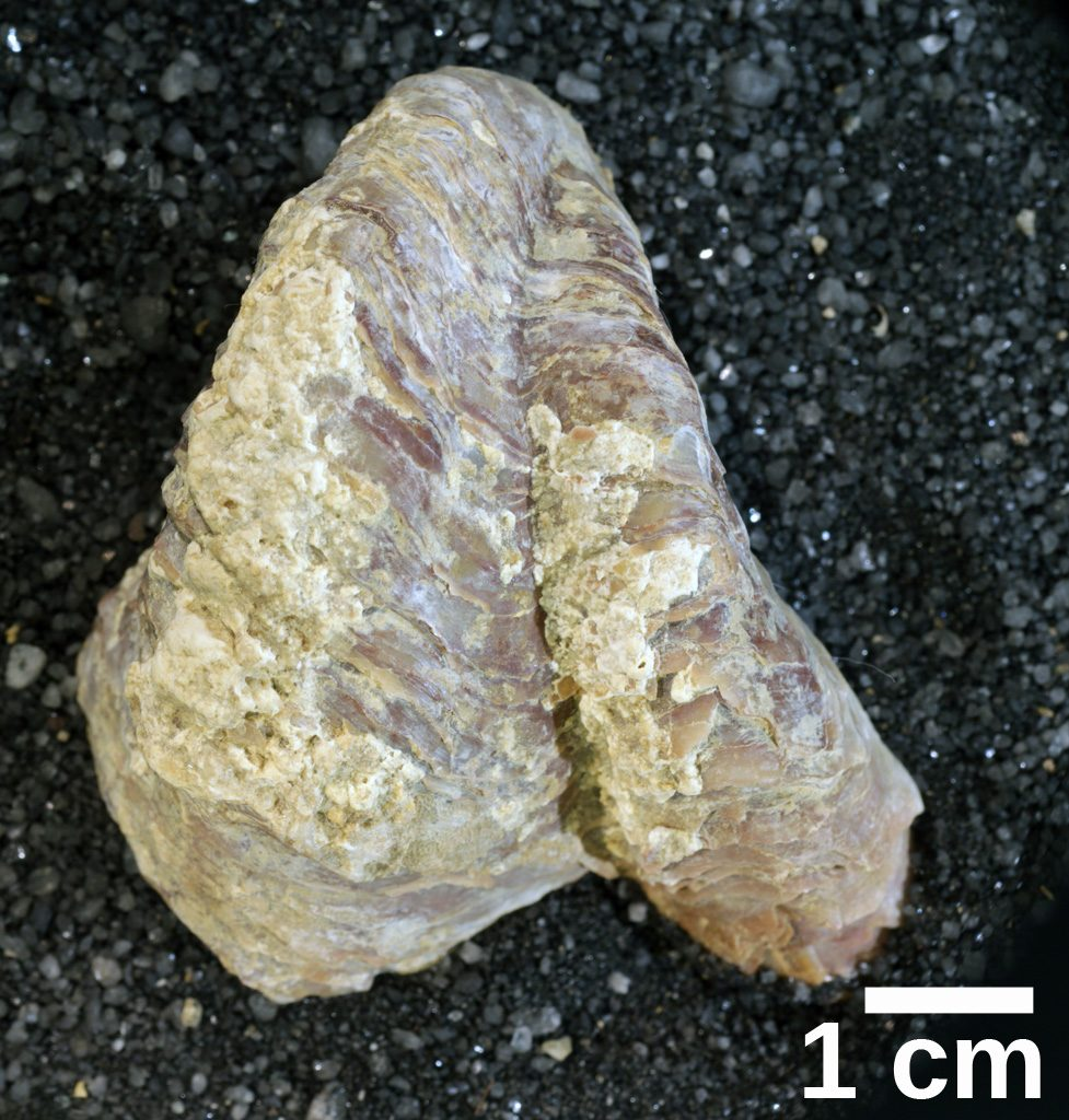 Oyster fossil