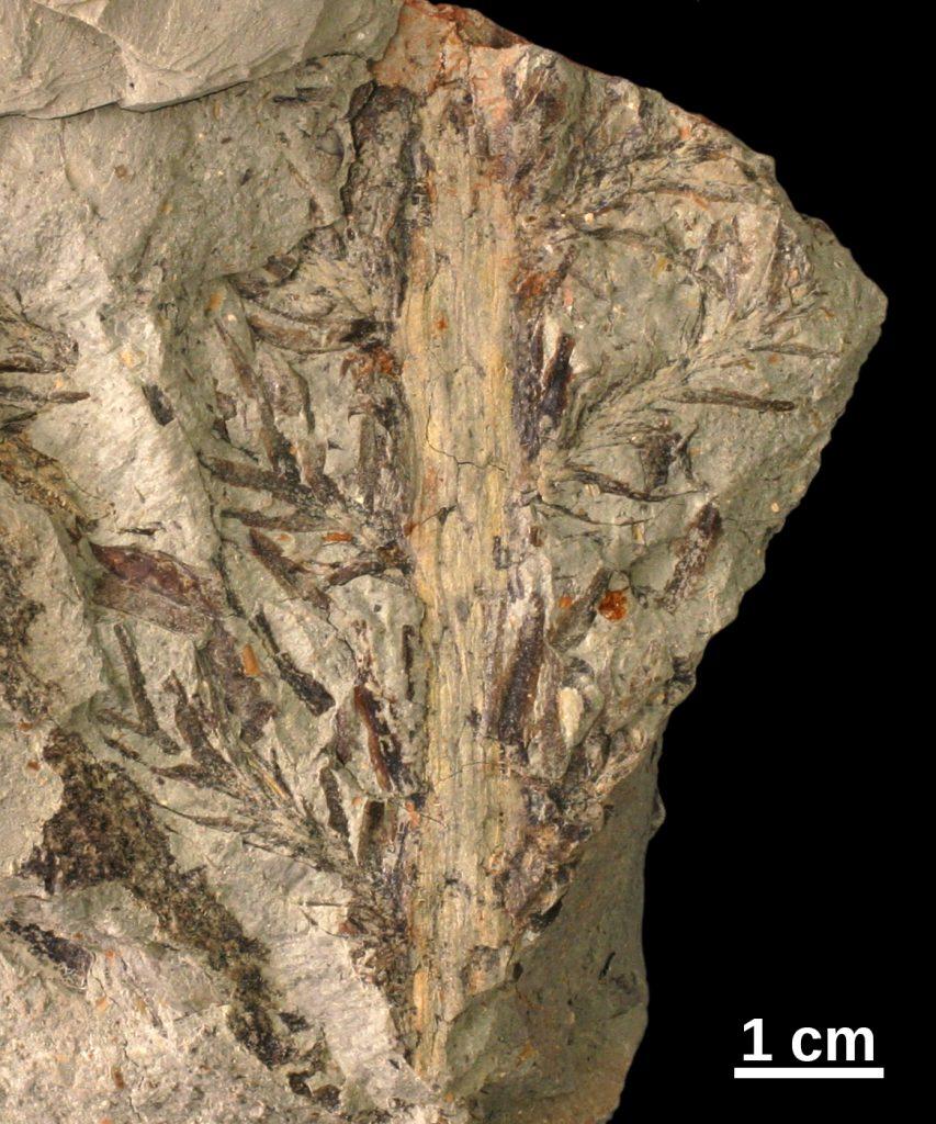 Walchia fossil