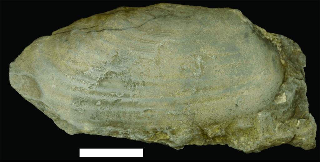 Clam fossil