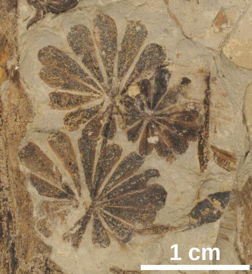 Fossil Sphenophytes