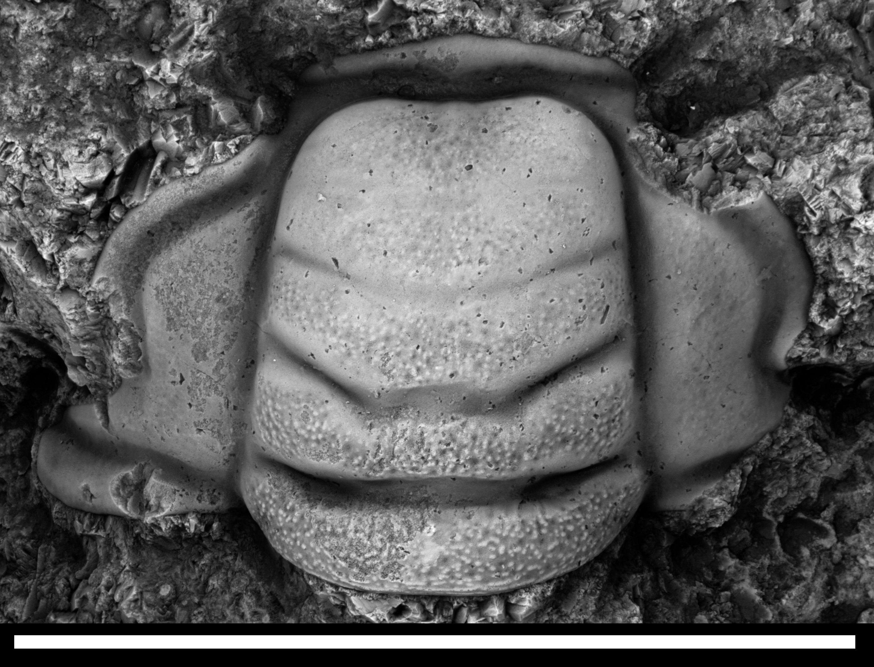 Trilobite cranidium