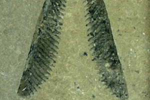 Link to Graptolites