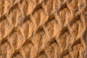 Link to Common Fossils of Oklahoma
