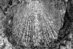 Link to Brachiopods