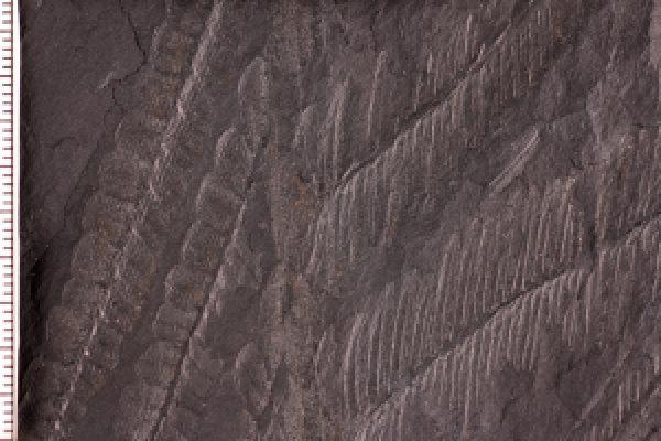 "Link to ""Metamorphosed"" Fern Fossil"